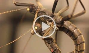 Black Beauty Stick Insects Mating