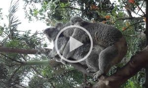 Mating Koalas